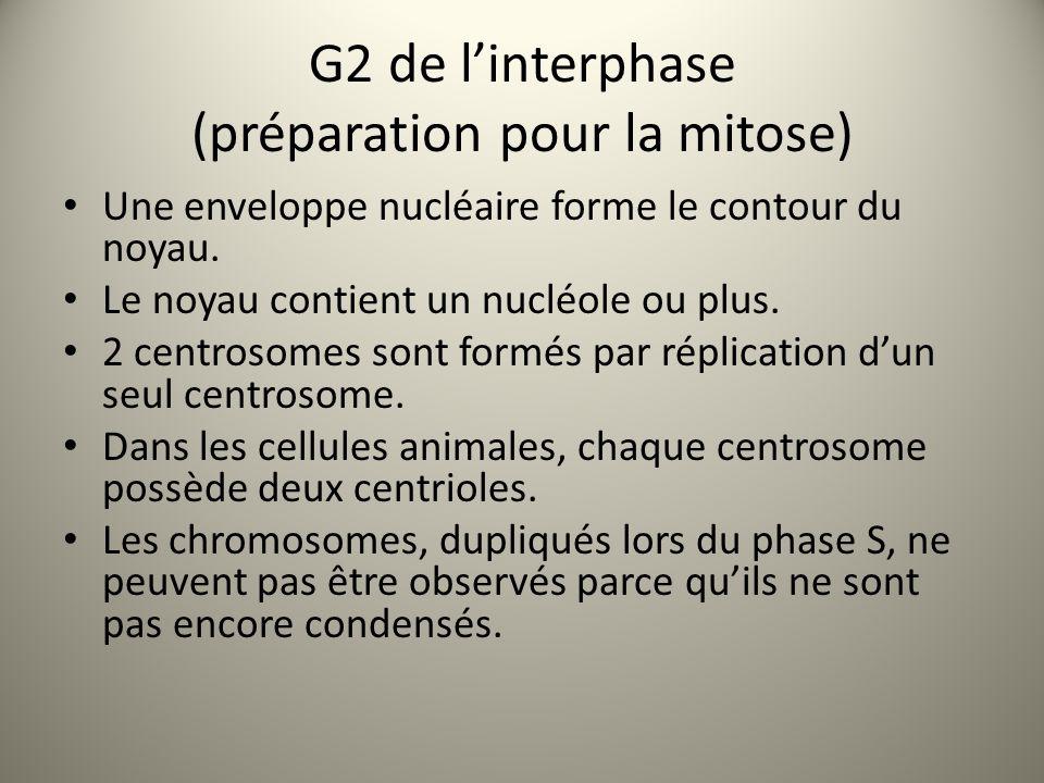 G2 de l'interphase (préparation pour la mitose)