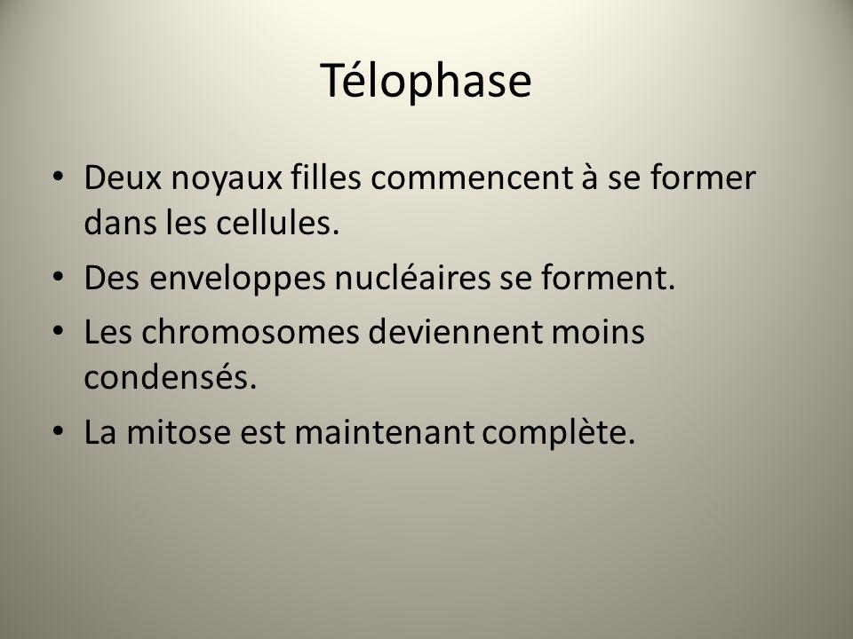 Télophase Deux noyaux filles commencent à se former dans les cellules.
