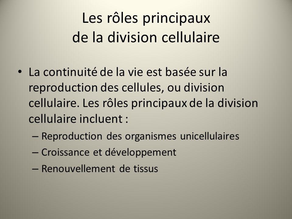 Les rôles principaux de la division cellulaire
