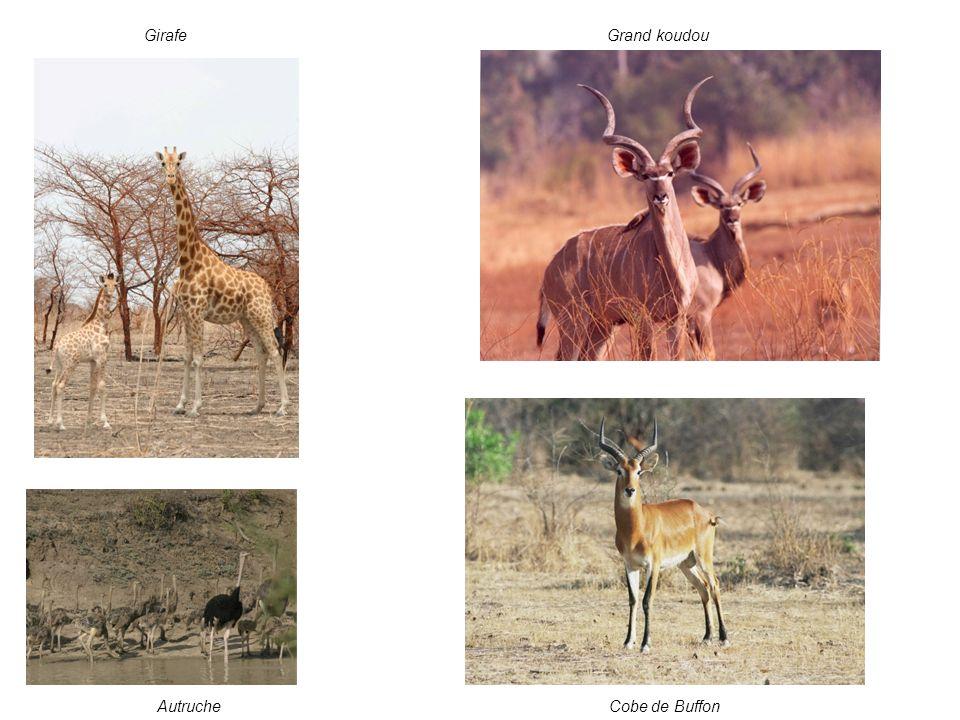 Girafe Grand koudou Autruche Cobe de Buffon