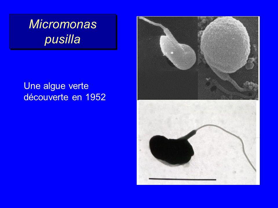 Micromonas pusilla Une algue verte découverte en 1952