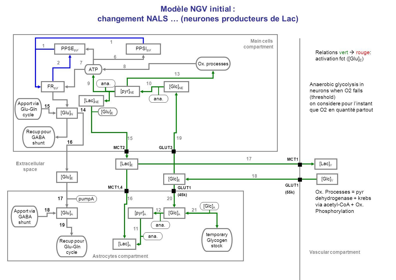Modèle NGV initial : changement NALS … (neurones producteurs de Lac)