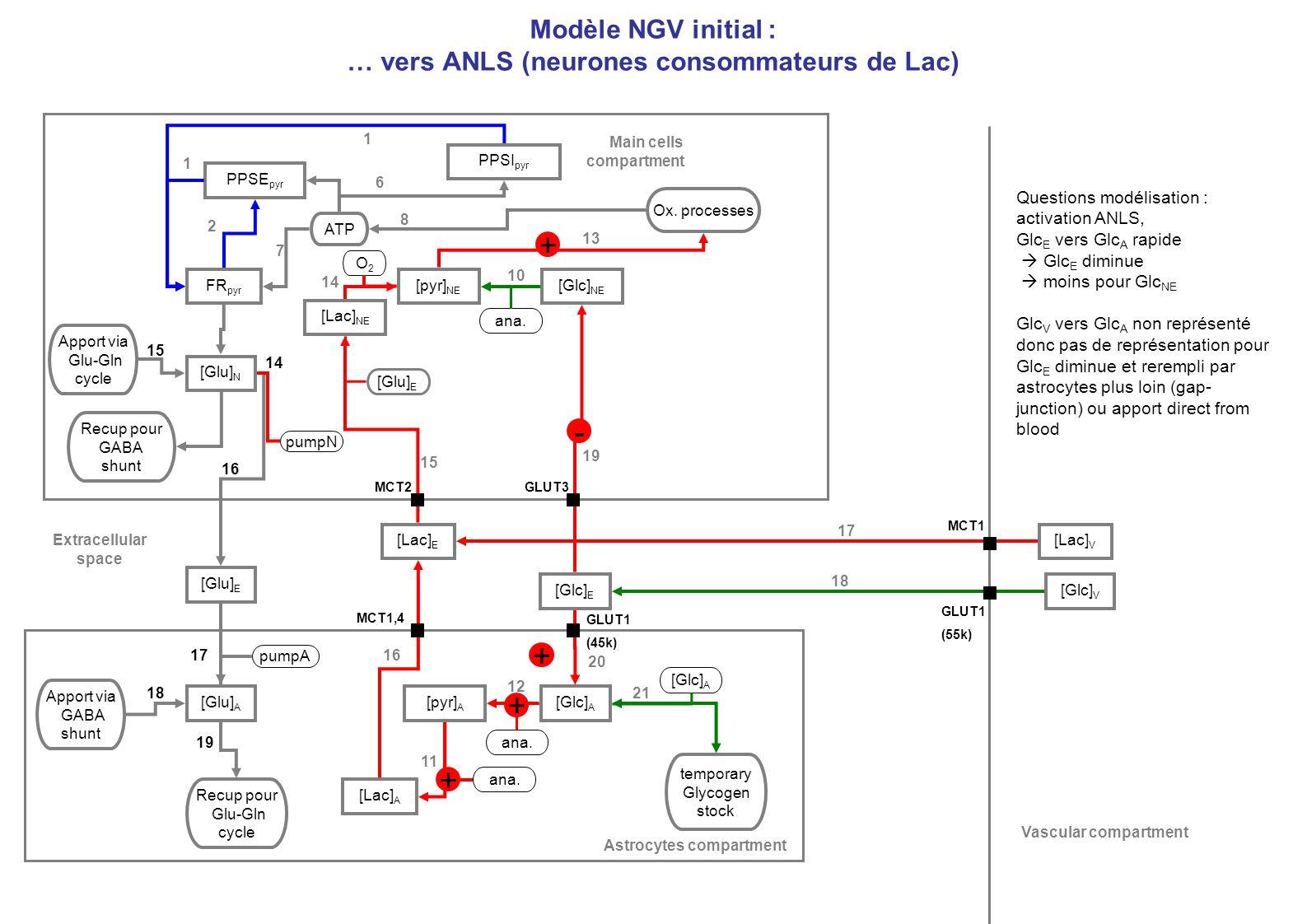 Modèle NGV initial : … vers ANLS (neurones consommateurs de Lac)
