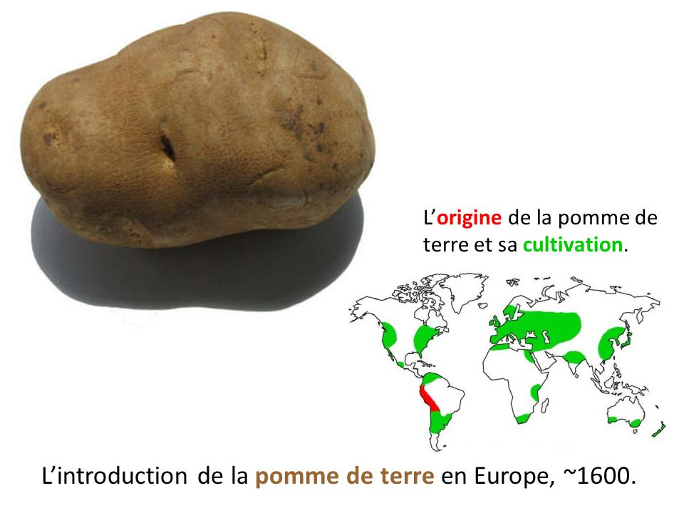 L'introduction de la pomme de terre en Europe, ~1600.