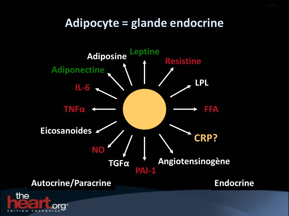 Adipocyte = glande endocrine