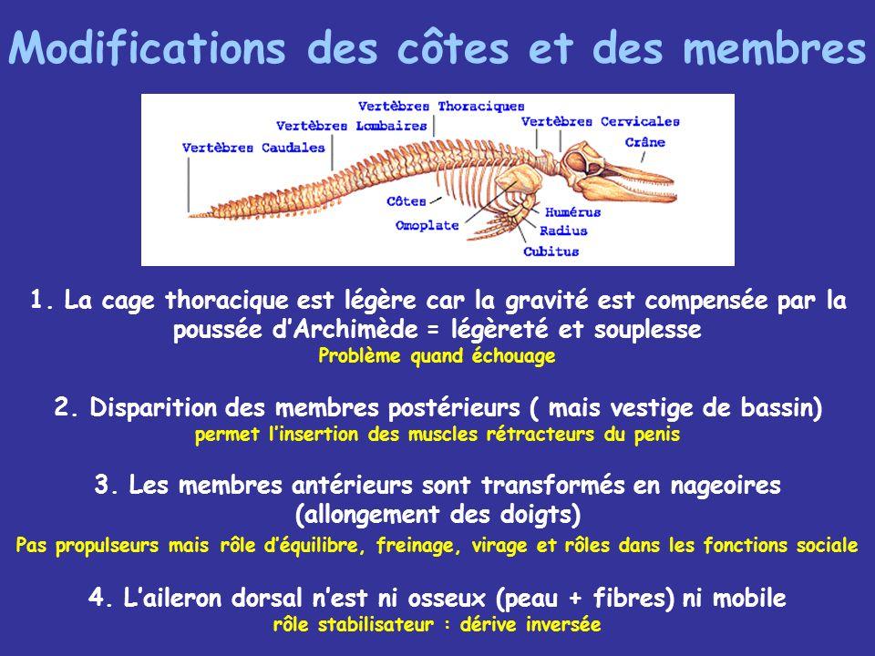 Modifications des côtes et des membres
