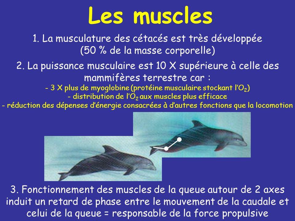 Les muscles 1. La musculature des cétacés est très développée (50 % de la masse corporelle)