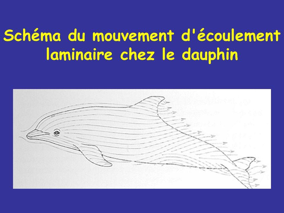 Schéma du mouvement d écoulement laminaire chez le dauphin