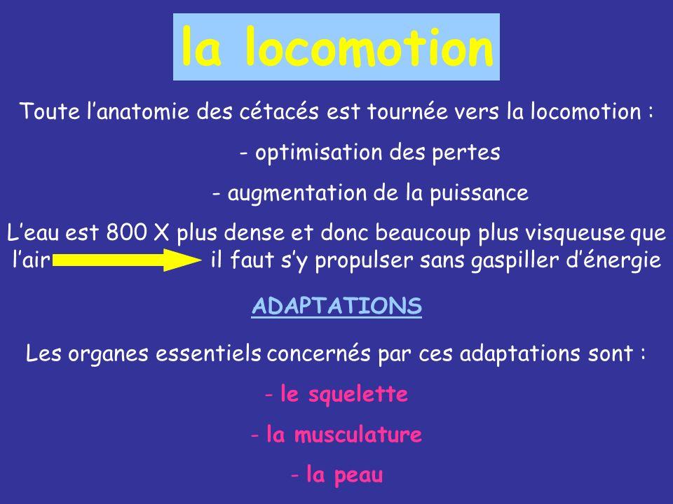 la locomotion Toute l'anatomie des cétacés est tournée vers la locomotion : - optimisation des pertes.