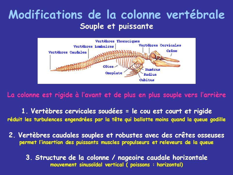 Modifications de la colonne vertébrale