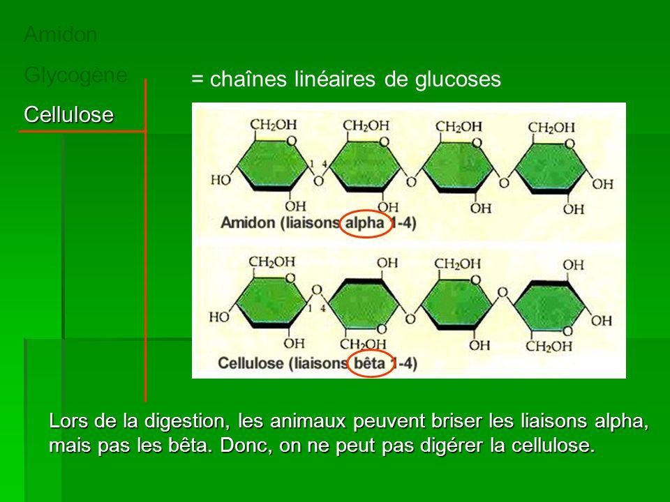 = chaînes linéaires de glucoses