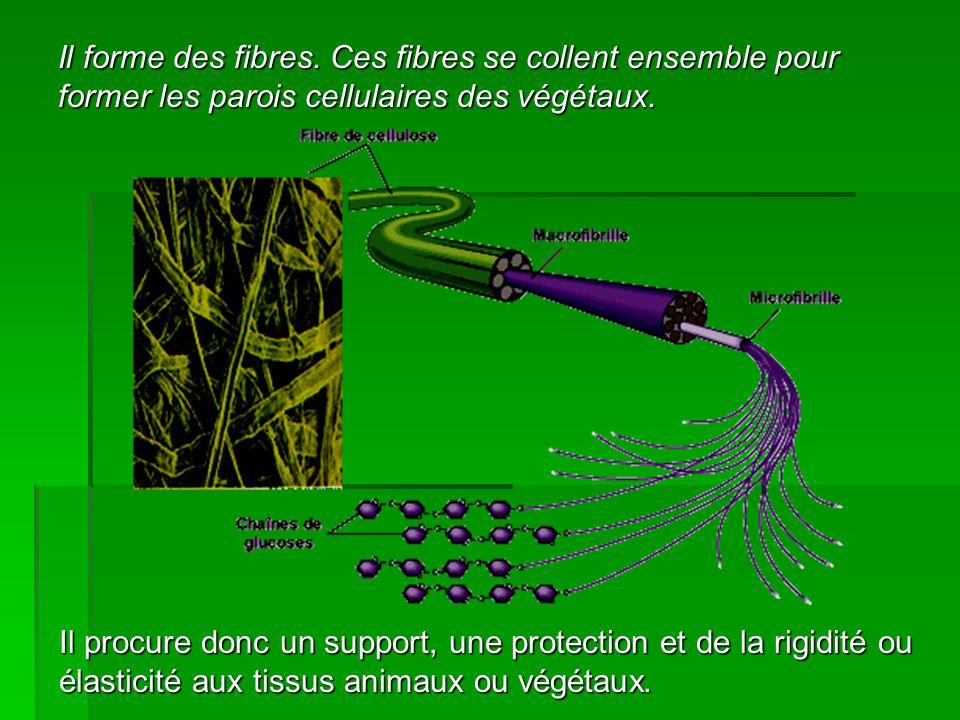Il forme des fibres. Ces fibres se collent ensemble pour former les parois cellulaires des végétaux.
