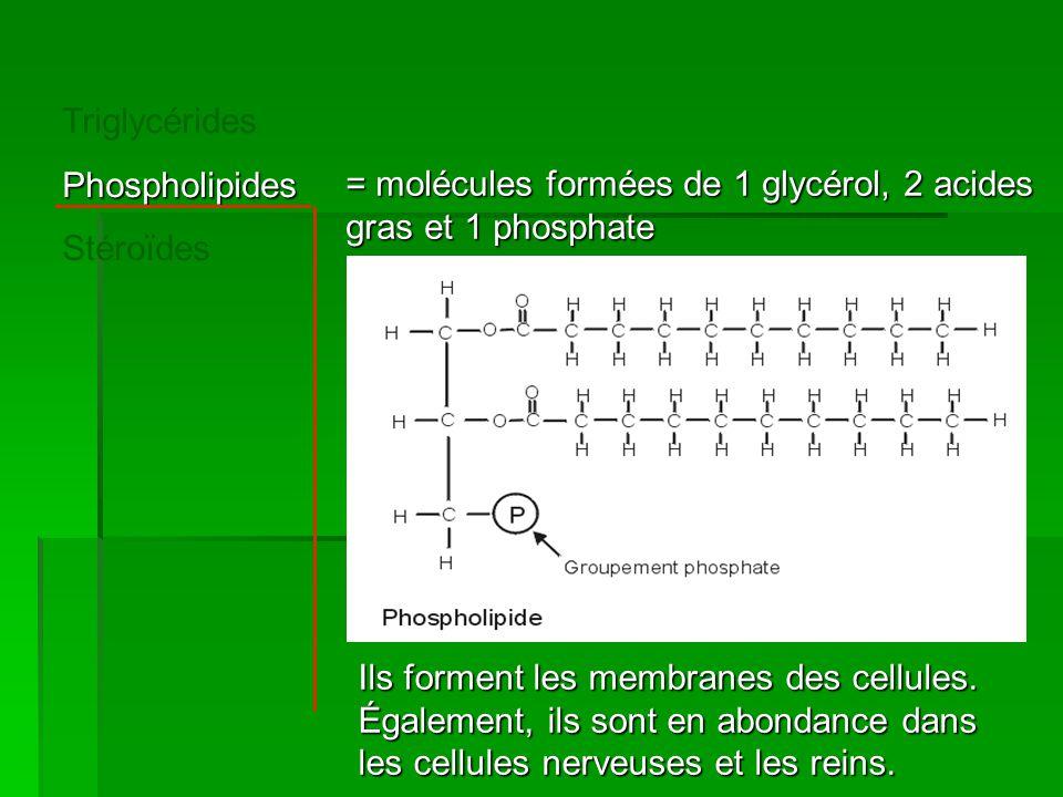 Triglycérides Phospholipides. Stéroïdes. = molécules formées de 1 glycérol, 2 acides gras et 1 phosphate.