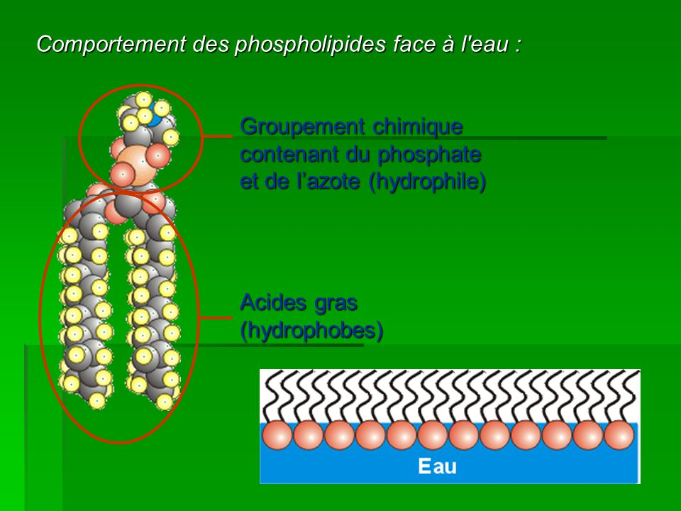 Comportement des phospholipides face à l eau :