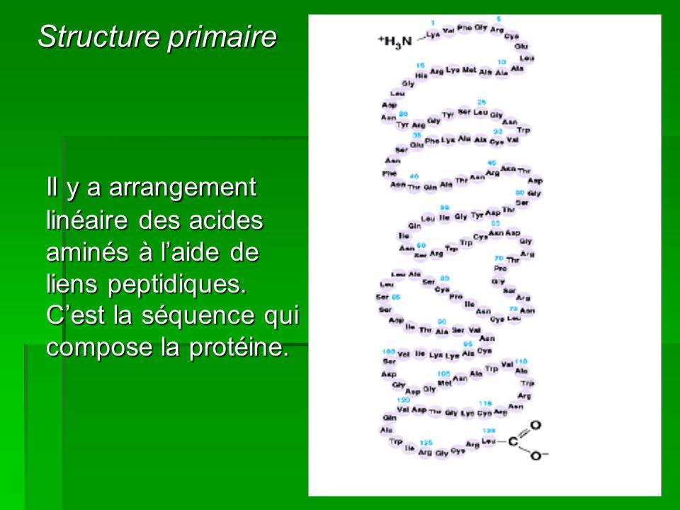 Structure primaire Il y a arrangement linéaire des acides aminés à l'aide de liens peptidiques.