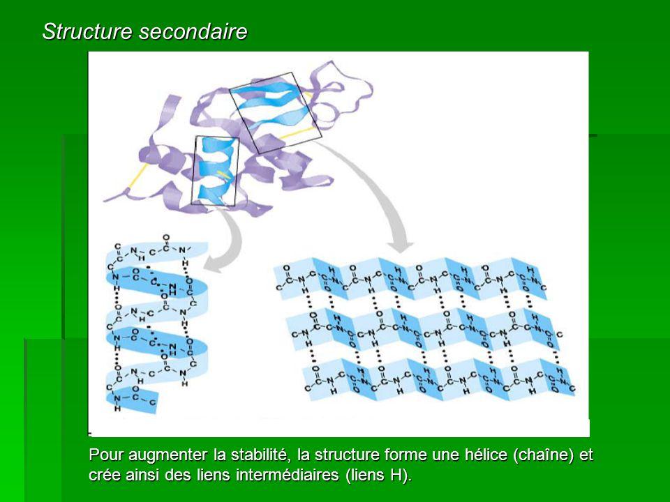 Structure secondaire Pour augmenter la stabilité, la structure forme une hélice (chaîne) et crée ainsi des liens intermédiaires (liens H).