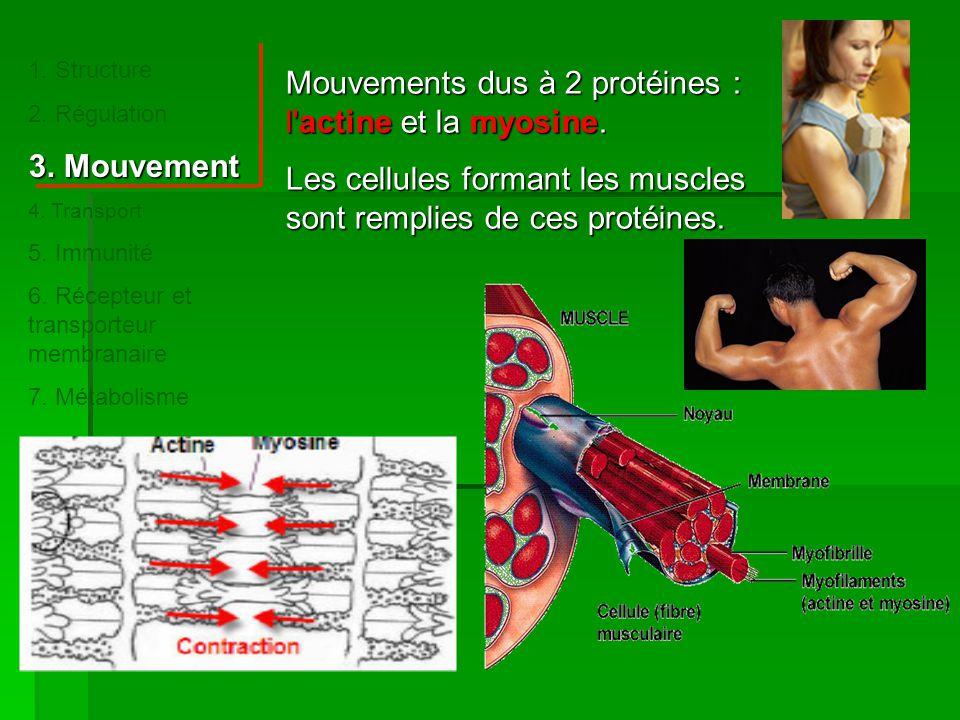 Mouvements dus à 2 protéines : l actine et la myosine.