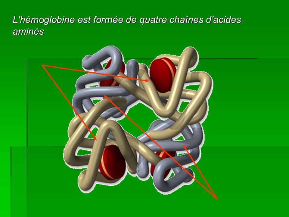 L hémoglobine est formée de quatre chaînes d acides aminés