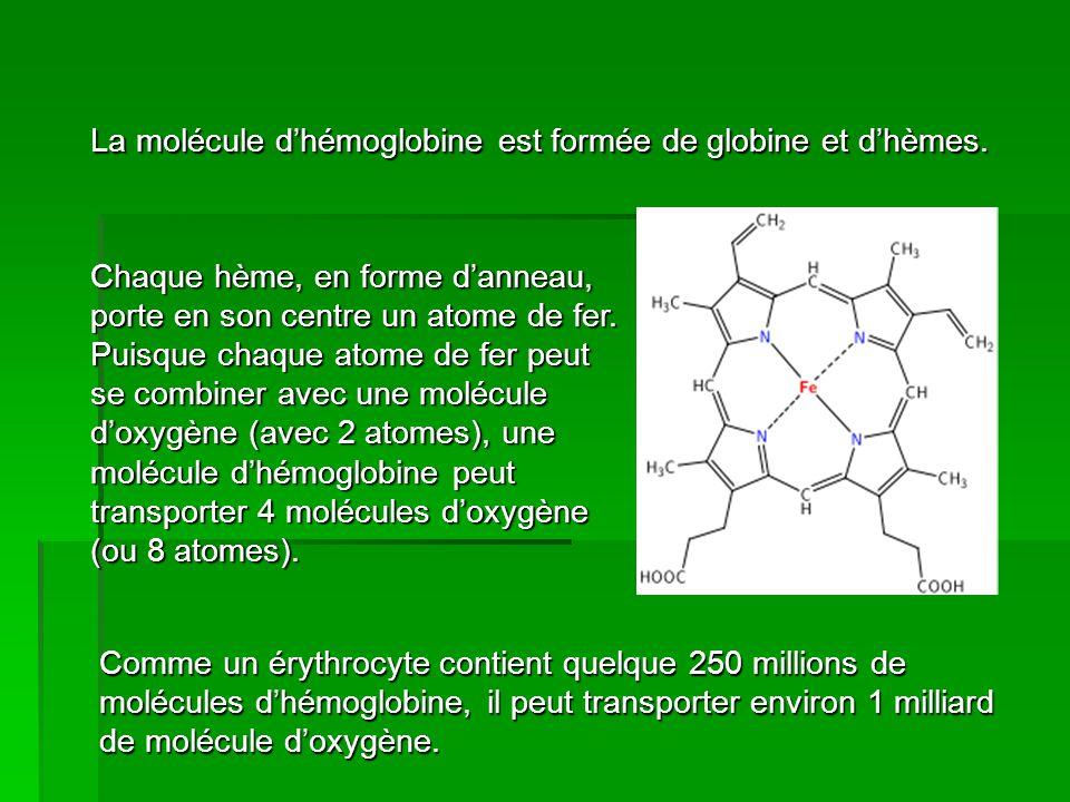 La molécule d'hémoglobine est formée de globine et d'hèmes.