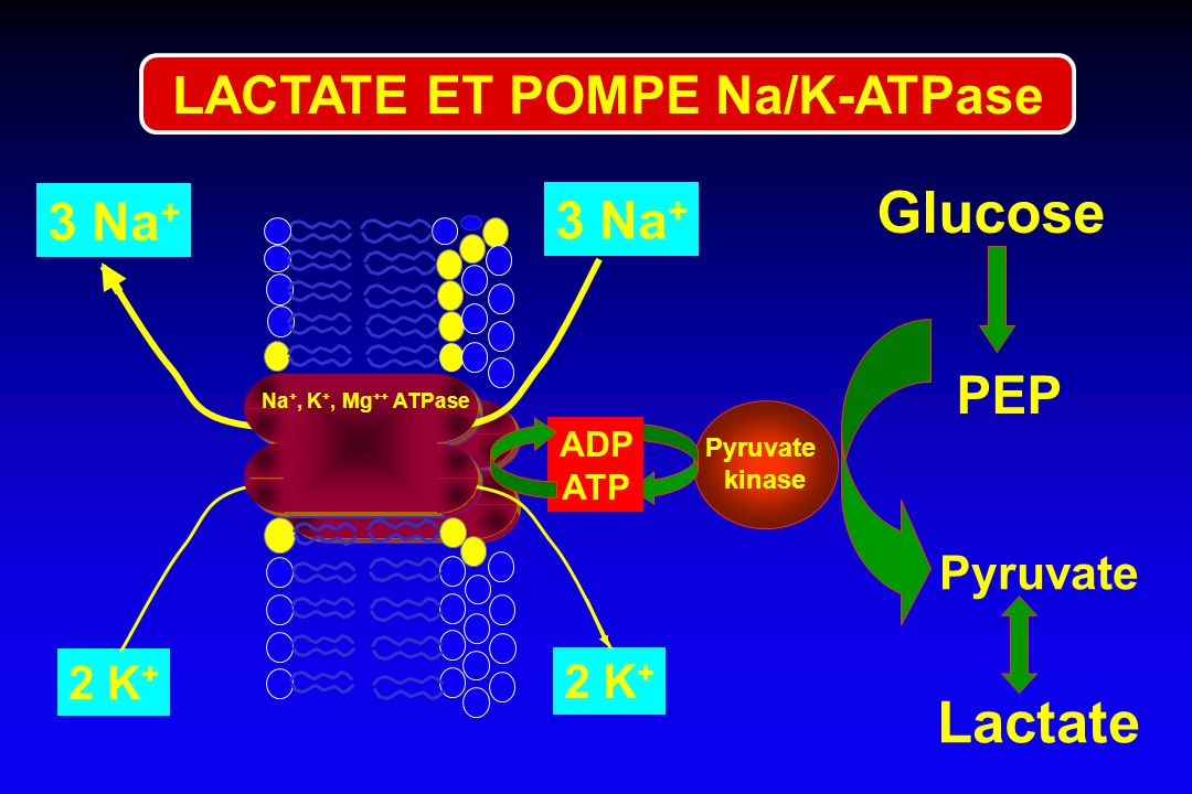 LACTATE ET POMPE Na/K-ATPase