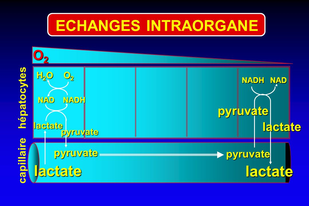 ECHANGES INTRAORGANE lactate lactate O2 pyruvate lactate hépatocytes