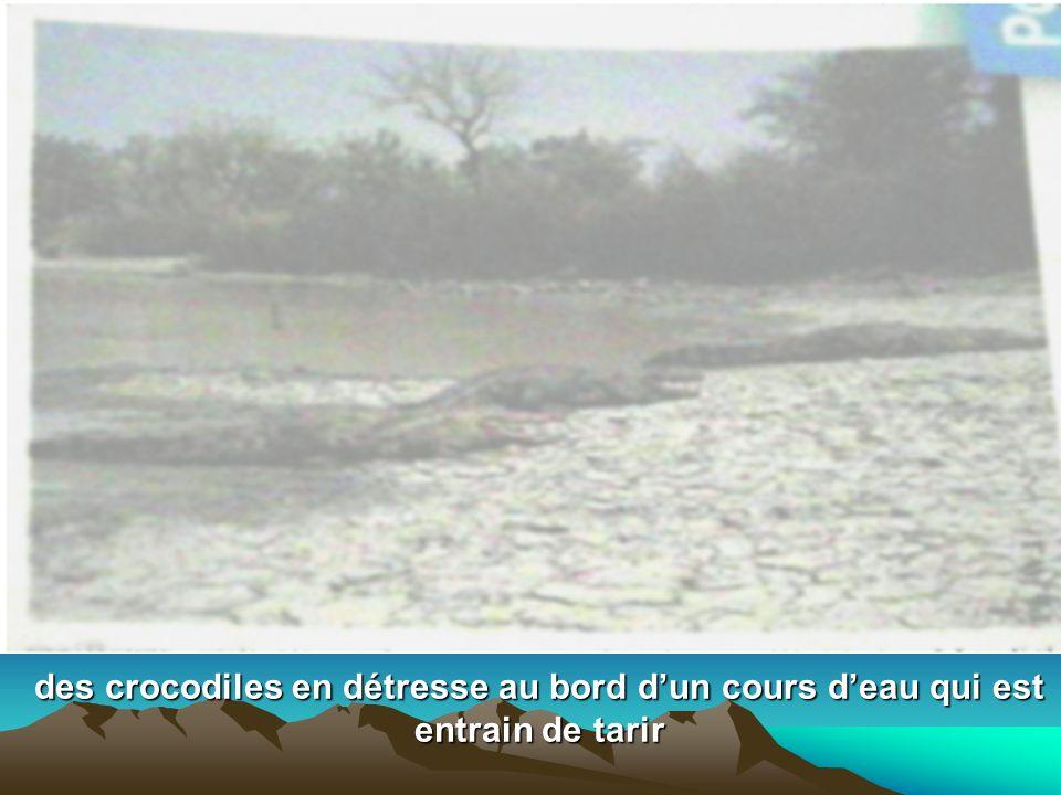 des crocodiles en détresse au bord d'un cours d'eau qui est entrain de tarir