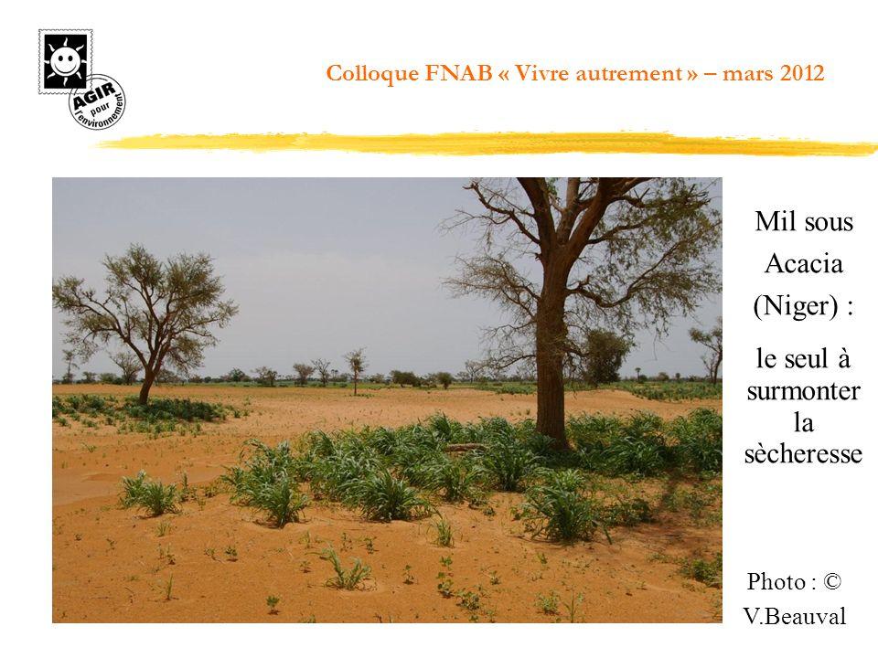 Mil sous Acacia (Niger) : le seul à surmonter la sècheresse