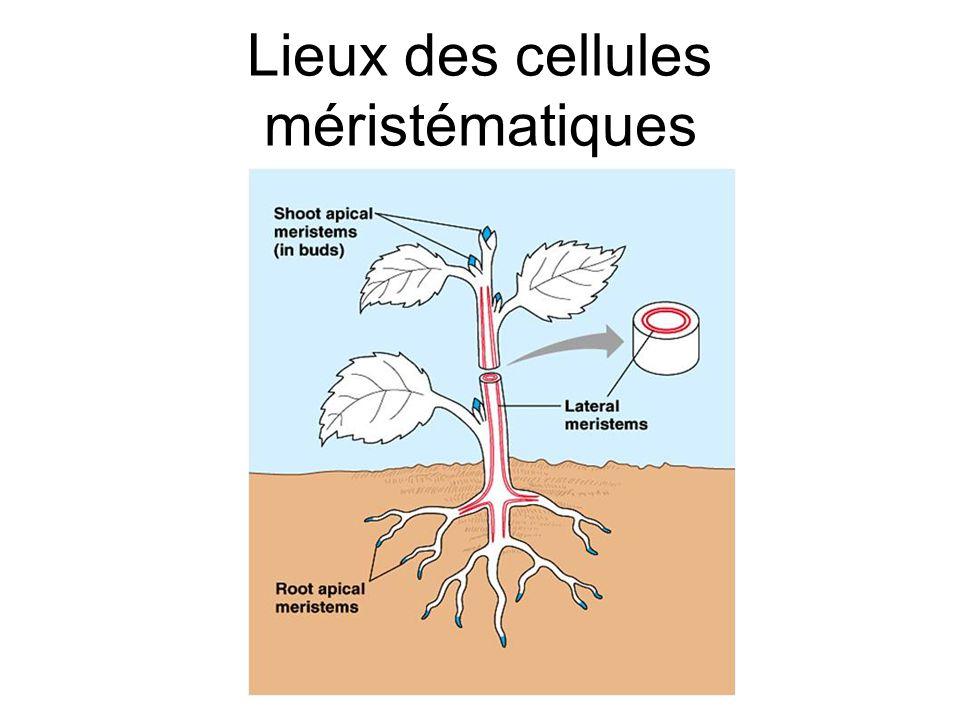 Lieux des cellules méristématiques