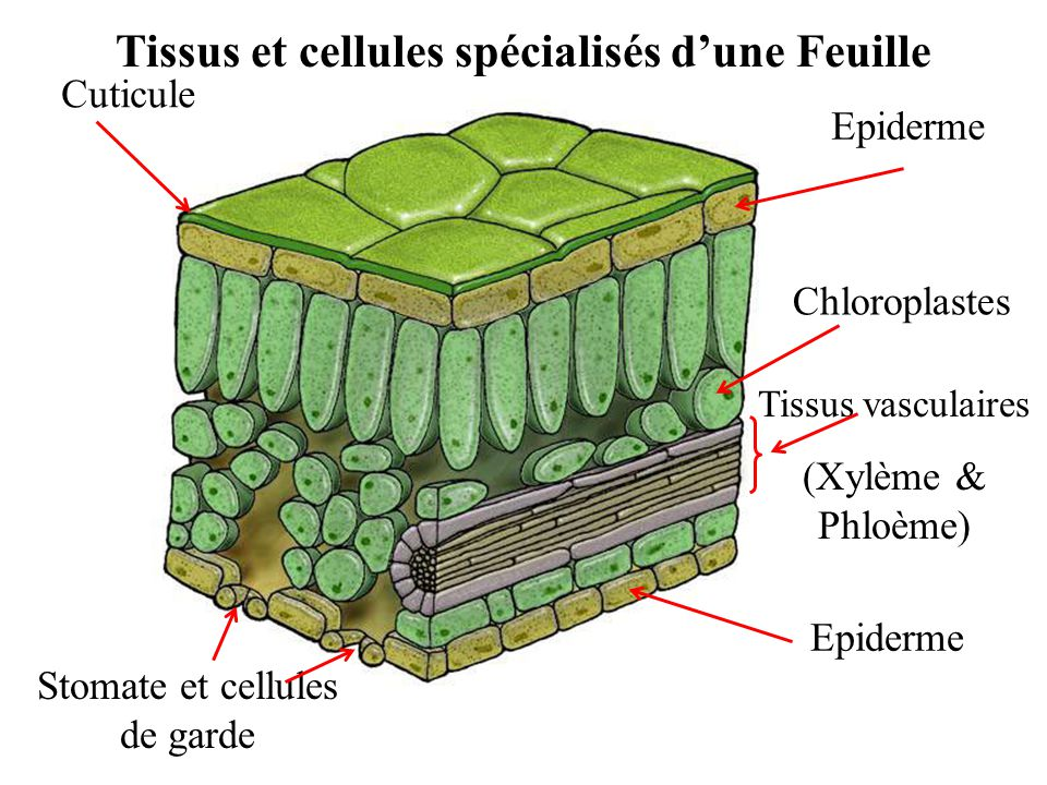 Tissus et cellules spécialisés d'une Feuille