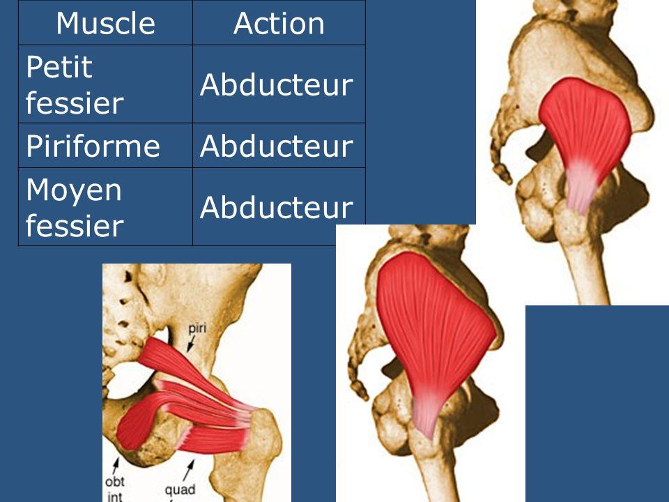 Muscle Action Petit fessier Abducteur Piriforme Moyen fessier