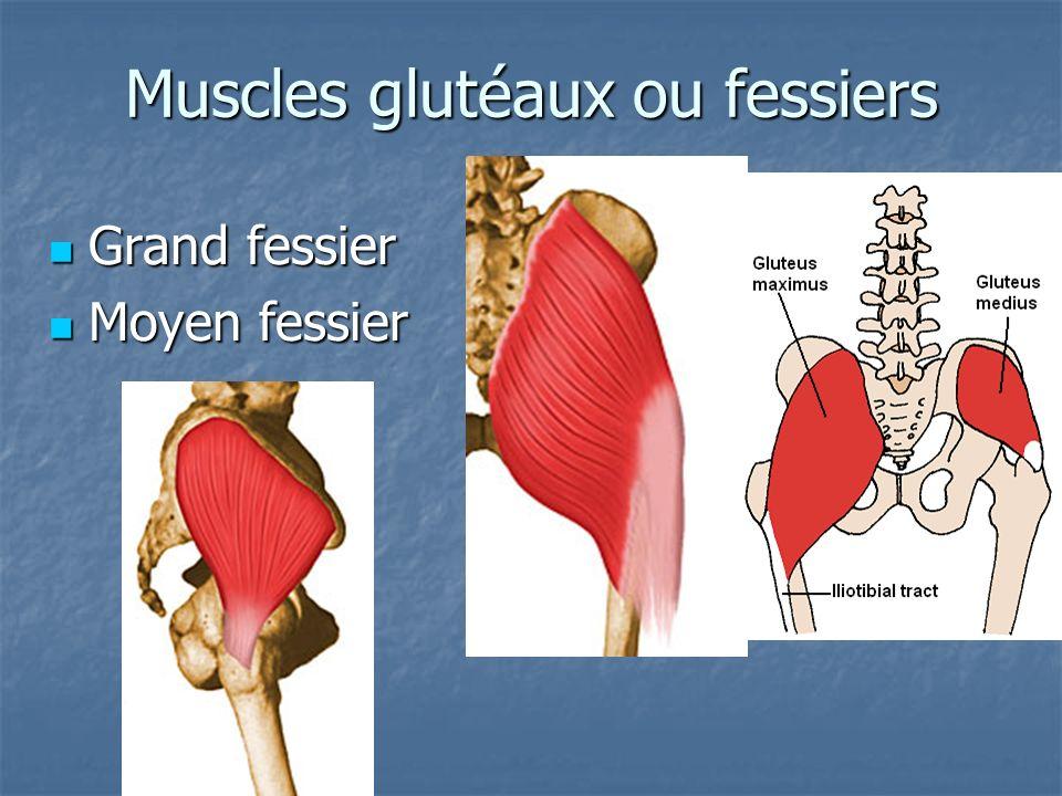 Muscles glutéaux ou fessiers