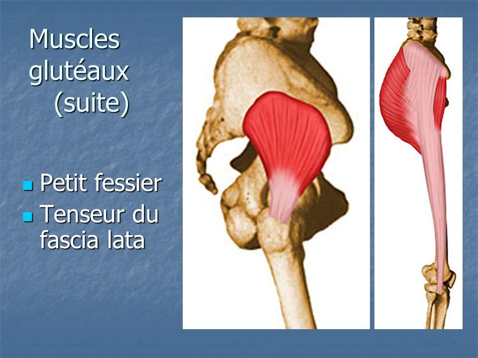Muscles glutéaux (suite)