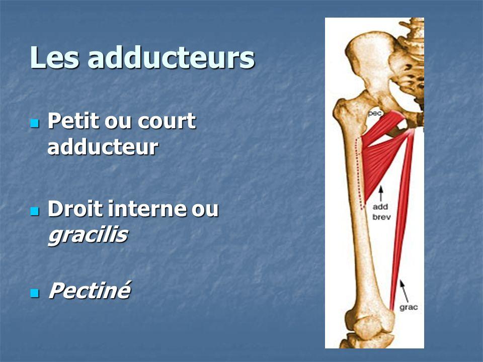 Les adducteurs Petit ou court adducteur Droit interne ou gracilis