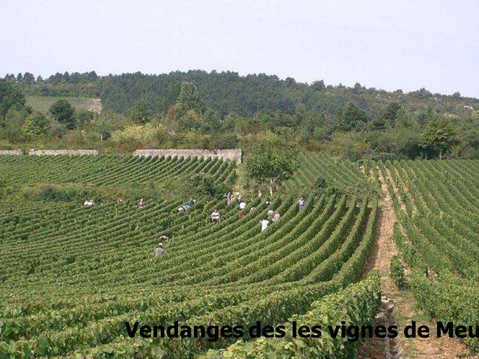 Vendanges des les vignes de Meursault