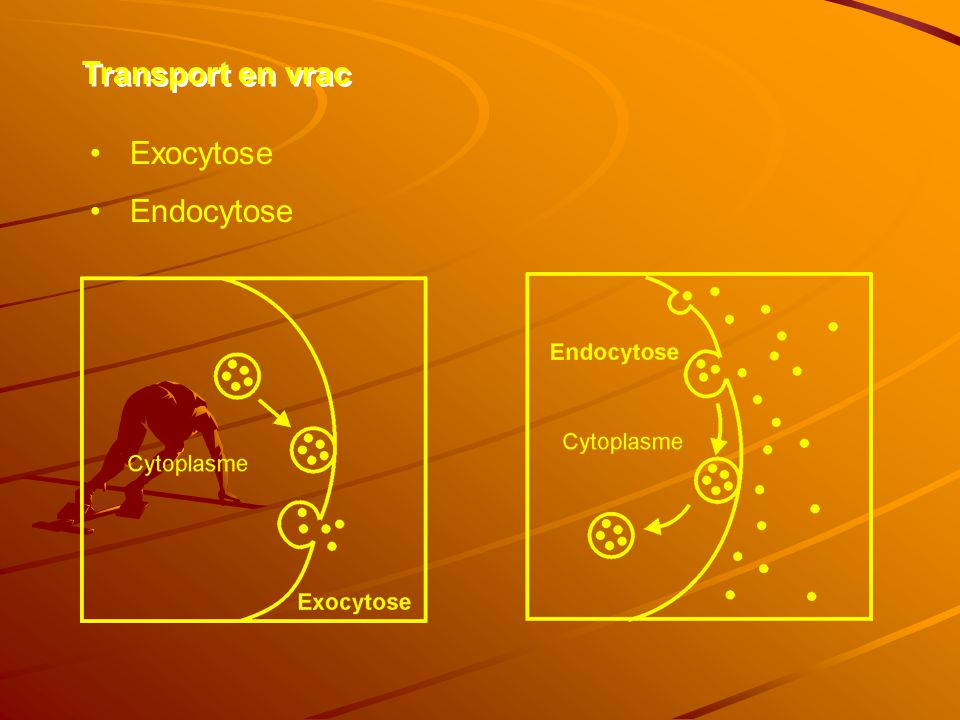 Transport en vrac Exocytose Endocytose
