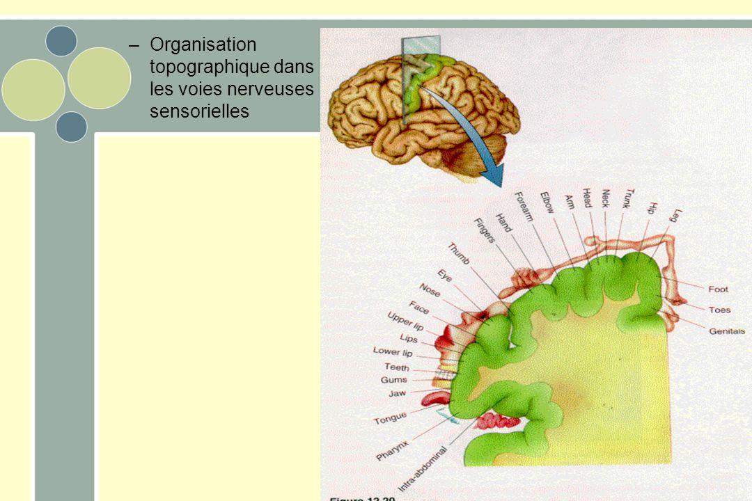 Organisation topographique dans les voies nerveuses sensorielles