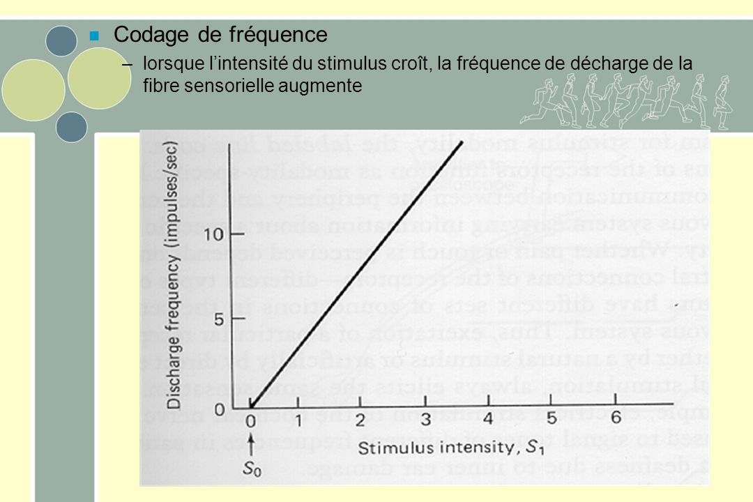 Codage de fréquence lorsque l'intensité du stimulus croît, la fréquence de décharge de la fibre sensorielle augmente.