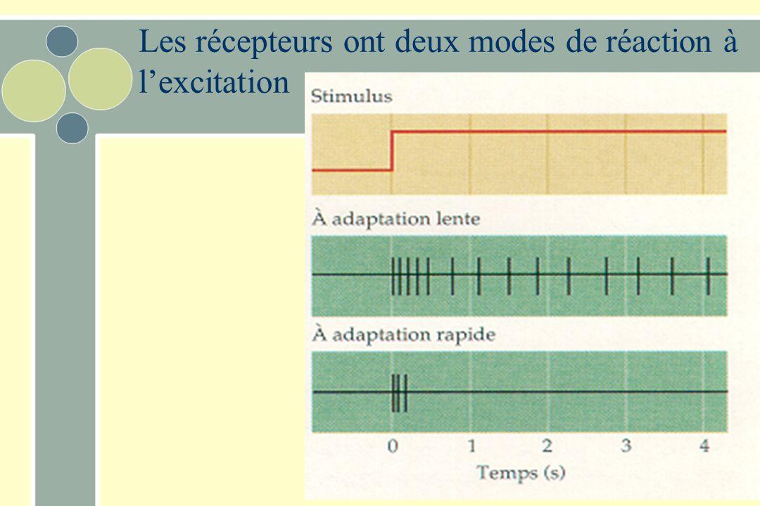 Les récepteurs ont deux modes de réaction à l'excitation