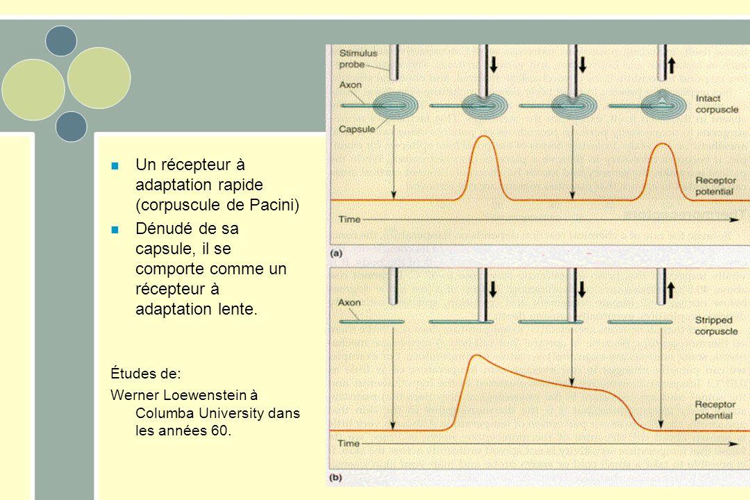 Un récepteur à adaptation rapide (corpuscule de Pacini)