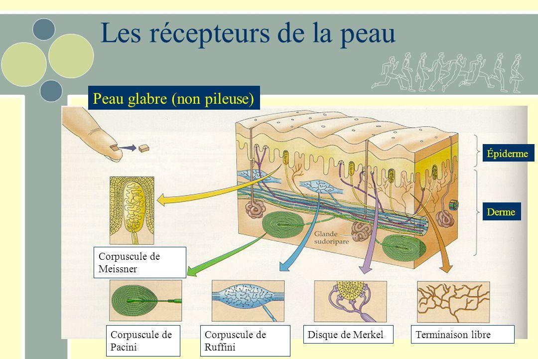 Les récepteurs de la peau