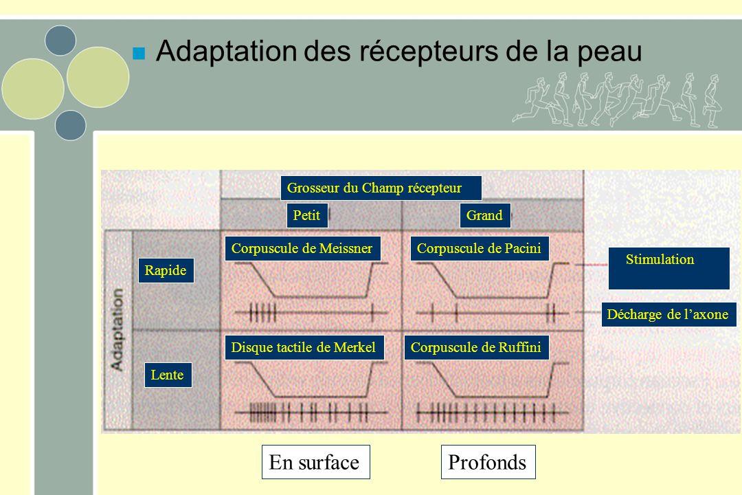 Adaptation des récepteurs de la peau