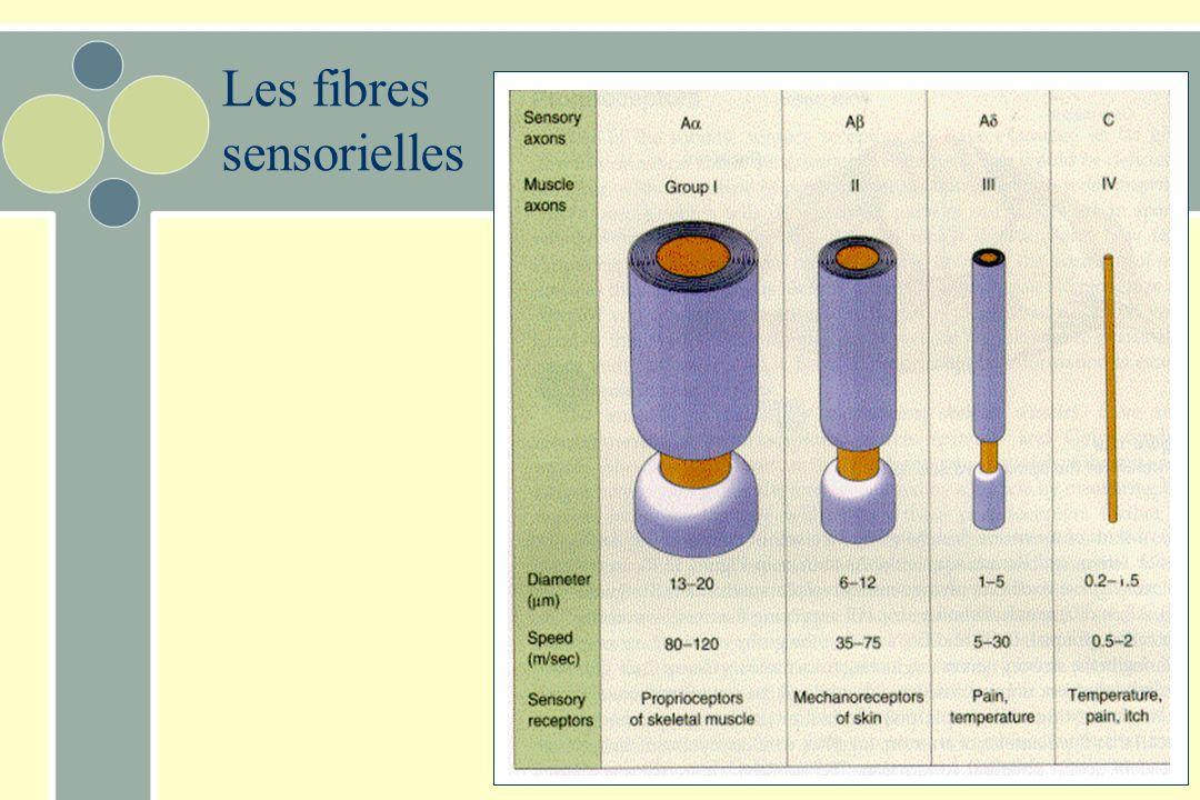 Les fibres sensorielles