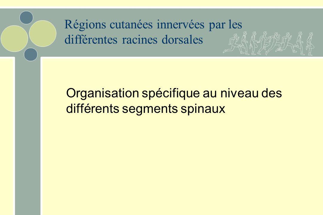 Régions cutanées innervées par les différentes racines dorsales