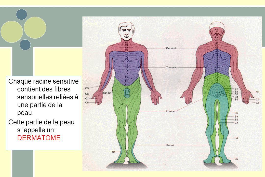 Chaque racine sensitive contient des fibres sensorielles reliées à une partie de la peau.