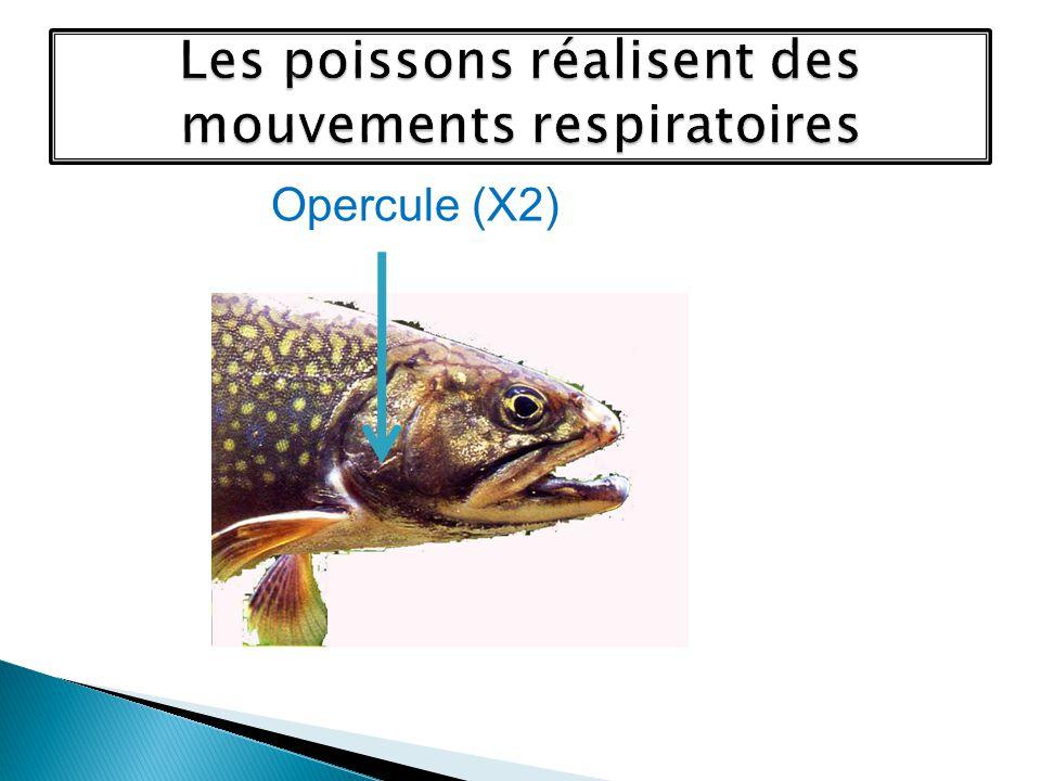 Les poissons réalisent des mouvements respiratoires