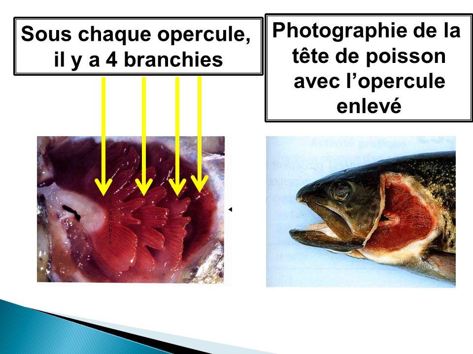 Photographie de la tête de poisson avec l'opercule enlevé Sous chaque opercule, il y a 4 branchies