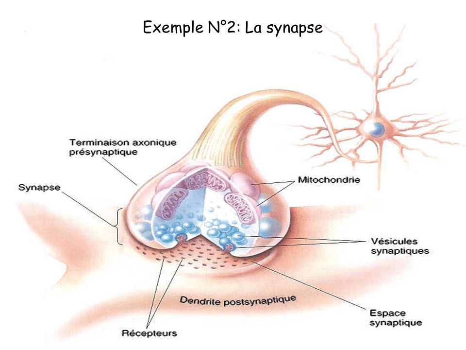 Exemple N°2: La synapse