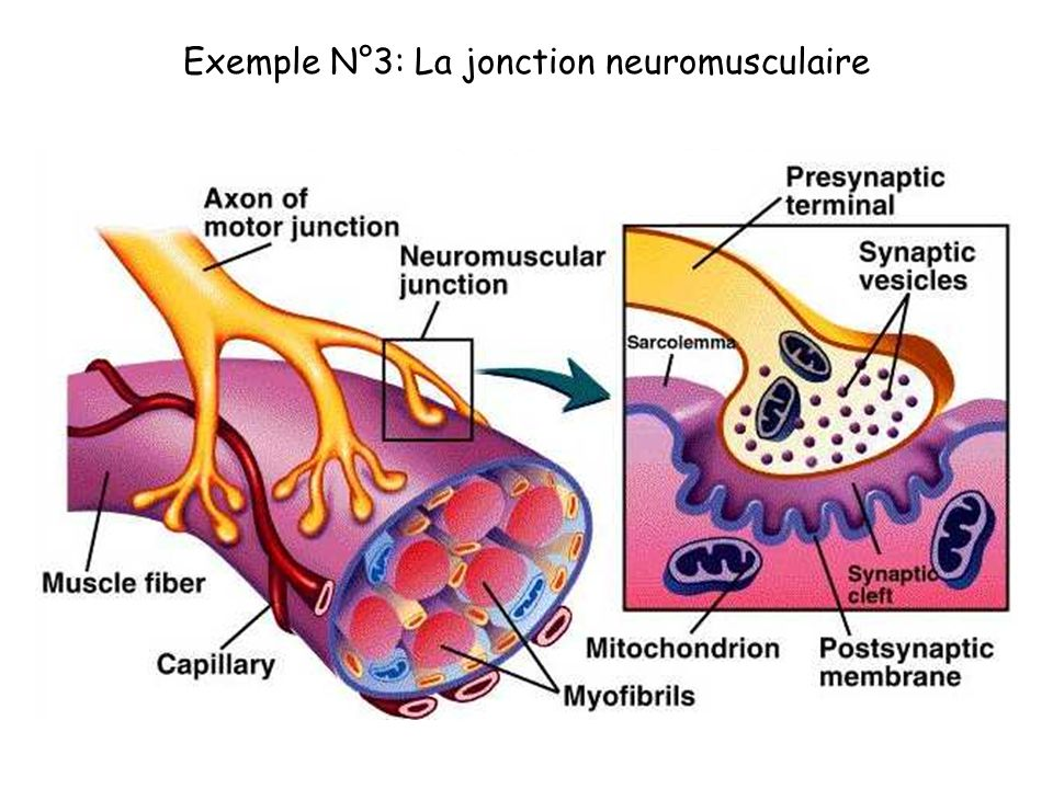 Exemple N°3: La jonction neuromusculaire
