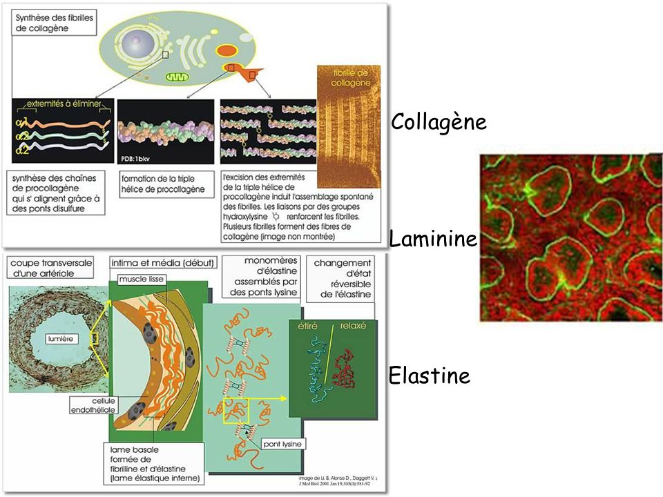 Collagène Laminine Elastine