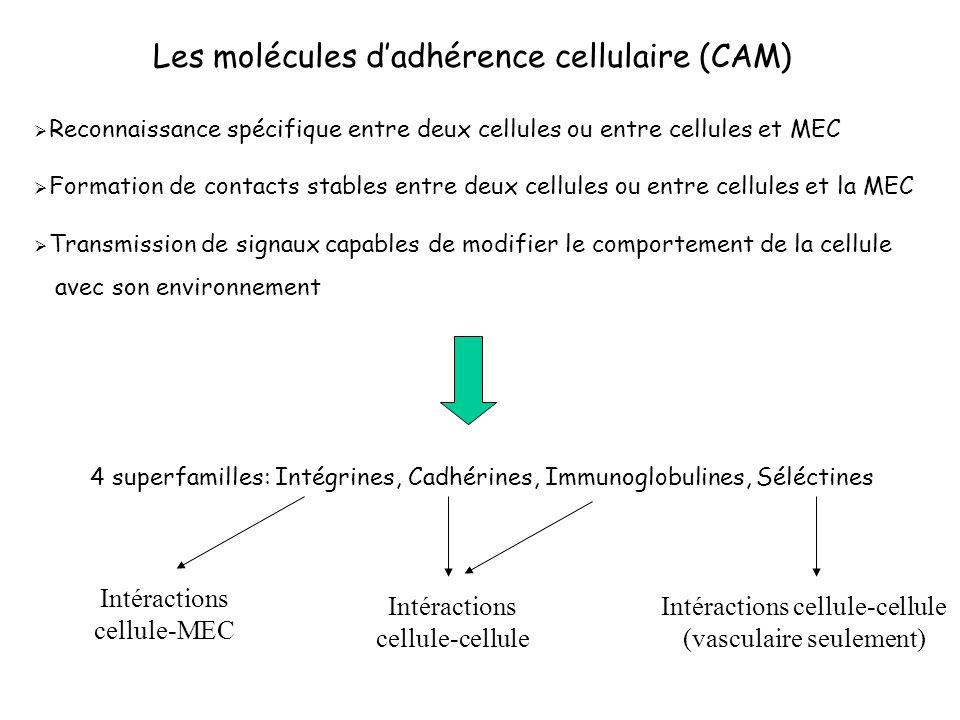 Les molécules d'adhérence cellulaire (CAM)